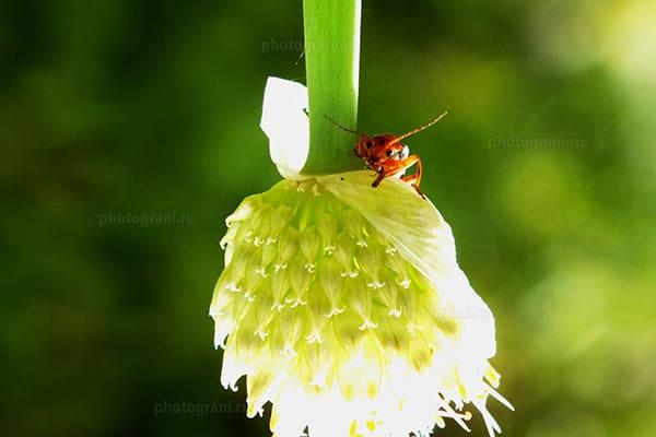 Цветок лука и жук