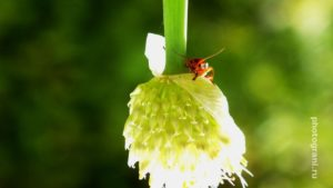 Трехглазый жук