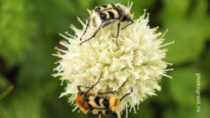 Башкирские пчелы на цветке